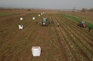 ΒΙΝΤΕΟ: Νεαρός αγρότης, παράδειγμα προς μίμηση στον πρωτογενή τομέα, στην συγκομιδή της πατάτας Τυχερού
