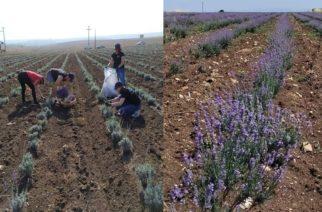 Ορεστιάδα: Ημερίδα-ενημέρωση για καλλιέργεια-μεταποίηση-ανάπτυξη αρωματικών φυτών, απ΄το Δημοκρίτειο Πανεπιστήμιο
