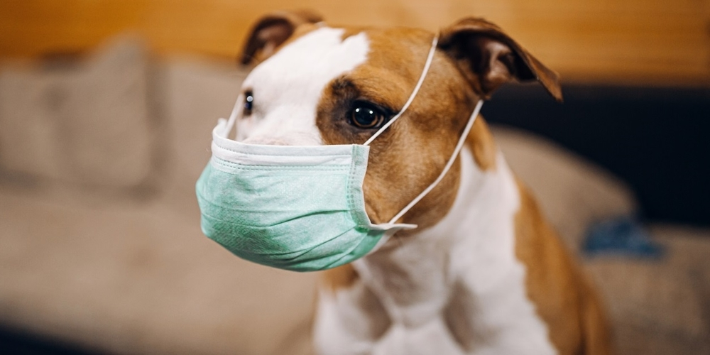 Amstaff dog puts a protective mask on his face
