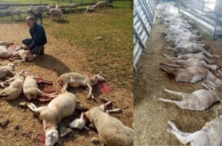 Φέρες: Αδέσποτα σκυλιά κατασπάραξαν 56 πρόβατα σε γνωστή φάρμα της περιοχής