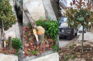 Αλεξανδρούπολη: Κάφρος κατέστρεψε δέντρο κόβοντας το, αλλά ο δήμος το αντικατέστησε άμεσα