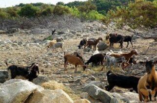 Σαμοθράκη: Στο πλευρό αγανακτισμένου κατοίκου ο δήμος, για τις καταστροφές από τα ανεξέλεγκτα, αφύλακτα κατσίκια!!!