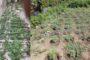 Σαμοθράκη: Μεγάλη χασισοφυτεία εντοπίστηκε στο νησί από το Λιμενικό