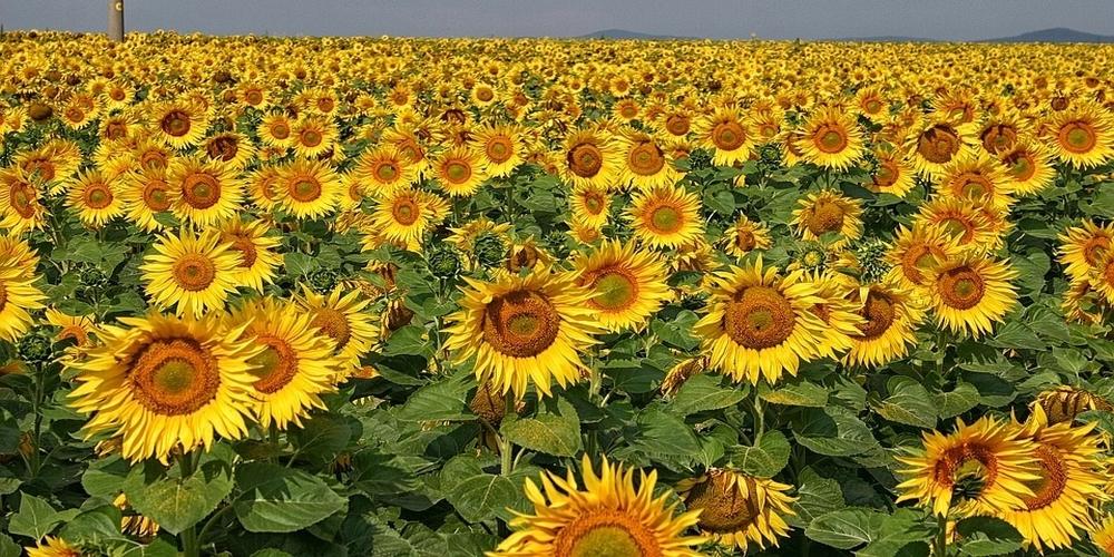 """Α.Σ.Δ. """"Ένωση"""" Ορεστιάδας: Ανακοίνωση για την καλλιέργεια του ηλιάνθου 2020"""