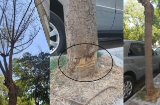 """Αλεξανδρούπολη: """"Έγκλημα"""" εκ προμελέτης, αφού ξέραναν δυο δέντρα κόβοντας τους """"επαγγελματικά"""" την φλούδα"""