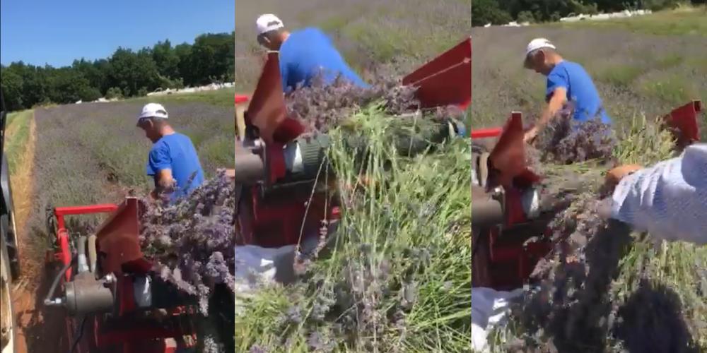 Έβρος: Προχωράει με εντατικούς ρυθμούς η συγκομιδή λεβάντας που κερδίζει συνέχεια καλλιεργητές