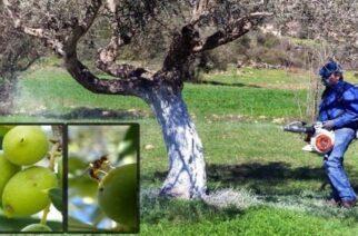 Οδηγίες προς ελαιοκαλλιεργητές του Έβρου για την αντιμετώπιση του δάκου
