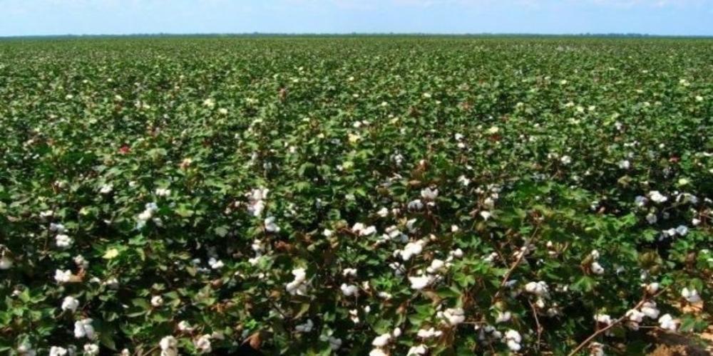 Διεύθυνση Αγροτικής Οικονομίας: Φυτοπροστασία βαμβακοκαλλιεργιών, για αντιμετώπιση του πράσινου και ρόδινου σκουληκιού