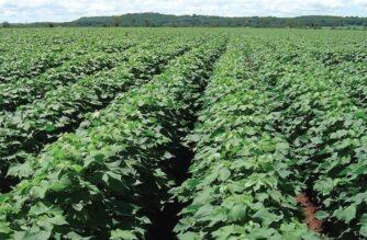 Συμβουλές της Διεύθυνσης Αγροτικής Οικονομίας Έβρου, για ολοκληρωμένη Φυτοπροστασία της βαμβακοκαλλιέργειας