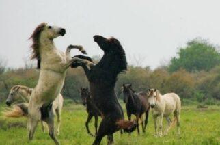 Επιστολή Πέτροβιτς σε Βορίδη, για τις καταστροφές σε καλλιέργειες από άγρια άλογα στο Δέλτα  Έβρου