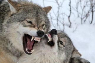 Διπλό κρούσμα θανατηφόρας επίθεσης λύκων σε κυνηγόσκυλα στον Έβρο