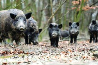Έβρος: Δόθηκε παράταση στο κυνήγι αγριόχοιρου ως τις 31 Μαρτίου