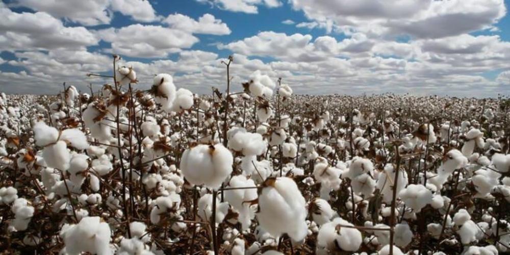Συνδεδεμένη βάμβακος: Μειώνεται 30% το πλαφόν στρεμματικής απόδοσης με απόφαση Λιβανού