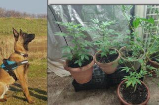 Αλεξανδρούπολη: Ο αστυνομικός σκύλος… μύρισε τα δενδρύλλια χασίς που είχε σπίτι του και συνελήφθη