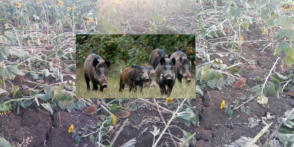 """Κραυγή απόγνωσης απ' τους Ασβεστάδες Διδυμοτείχου: """"Θα μας… φάνε τα αγριογούρουνα. Κατέστρεψαν τις καλλιέργειες"""""""