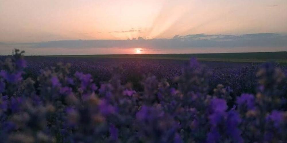 Έβρος: Το «απέραντο μωβ», με τις καλλιέργειες λεβάντας