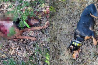 Φρίκη στο Σουφλί: Λύκοι κατασπάραξαν χθες δυο κυνηγόσκυλα
